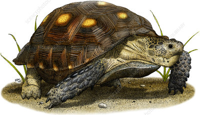 Texas Tortoise, Illustration