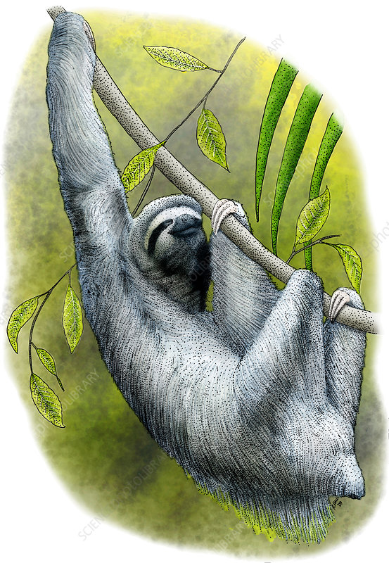 Three-toed Sloth, Illustration