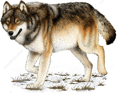 Gray or Timber Wolf, Illustration