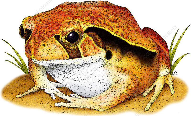 Tomato Frog, Illustration