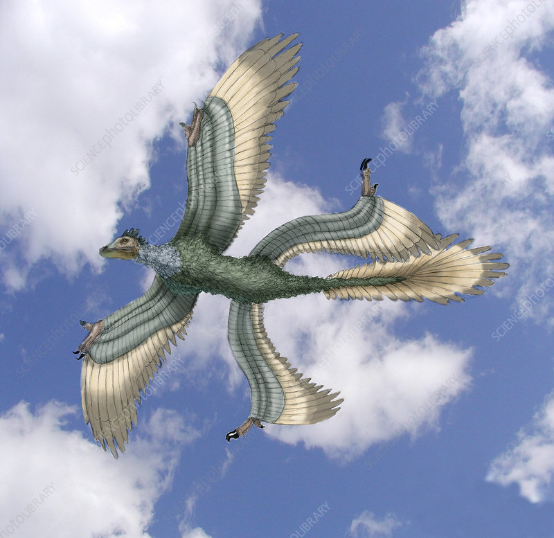 Microraptor, Illustration