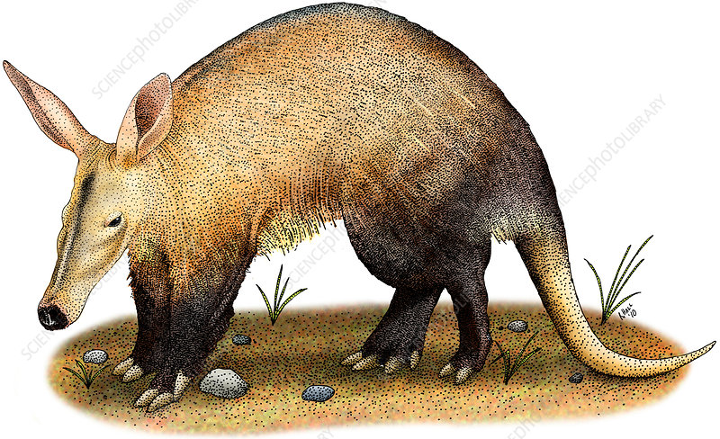 Aardvark, Illustration