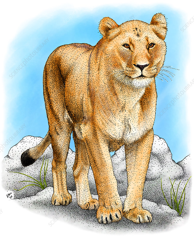 African Lioness, Illustration
