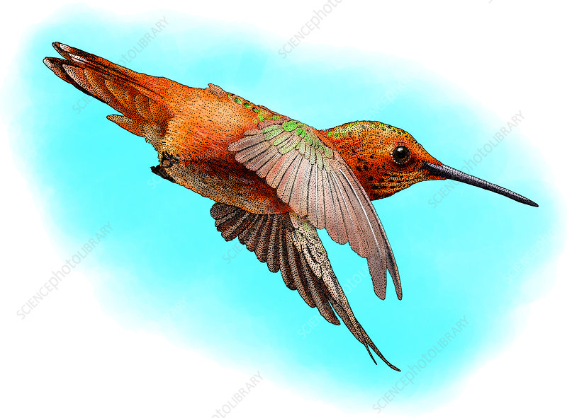 Allen's Hummingbird, Illustration