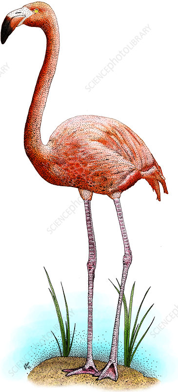 American Flamingo, Illustration
