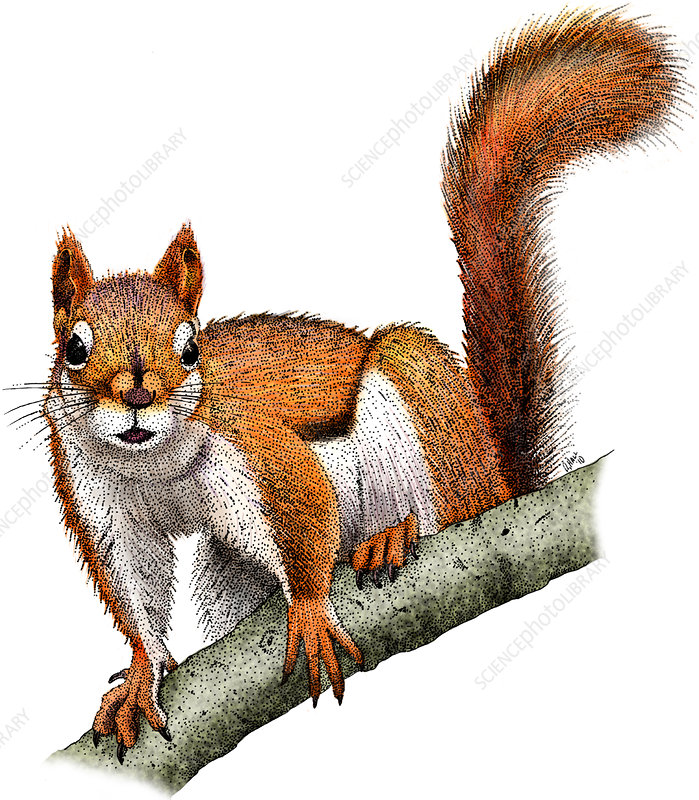 American Red Squirrel, Illustration