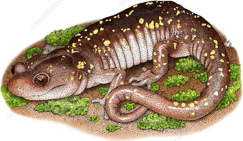 Arboreal Salamander, Illustration