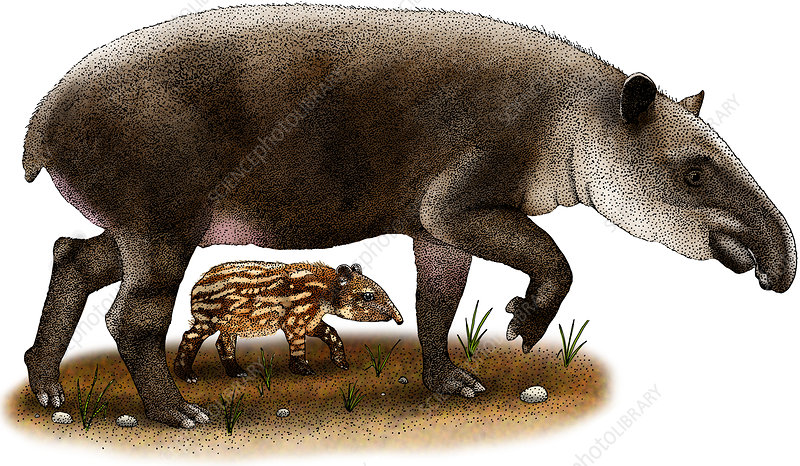 Baird's Tapir, Illustration