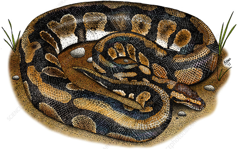 Ball Python, Illustration