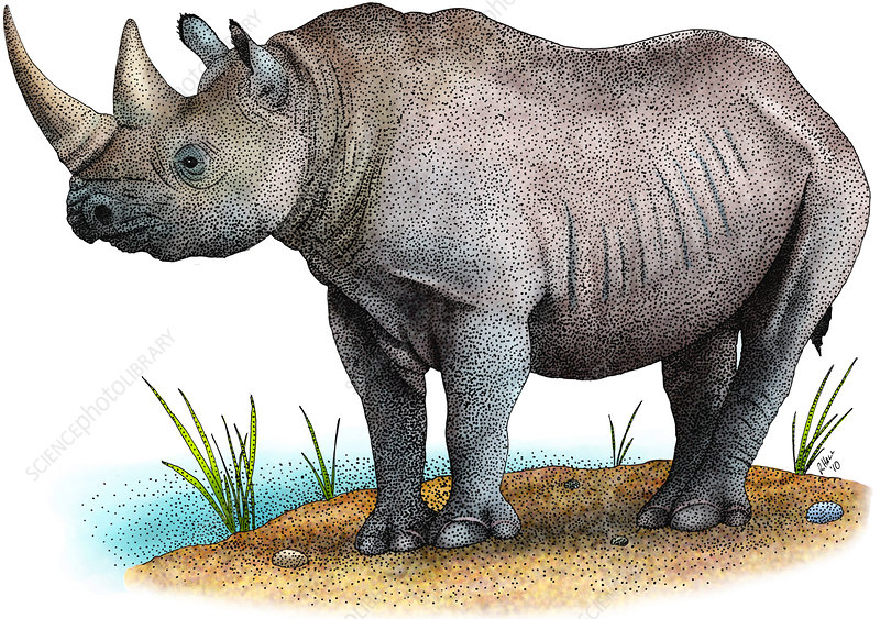 Black Rhinoceros, Illustration