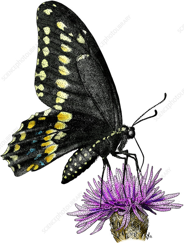 Black Swallowtail Butterfly, Illustration