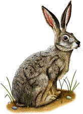 Black-Tailed Jackrabbit, Illustration
