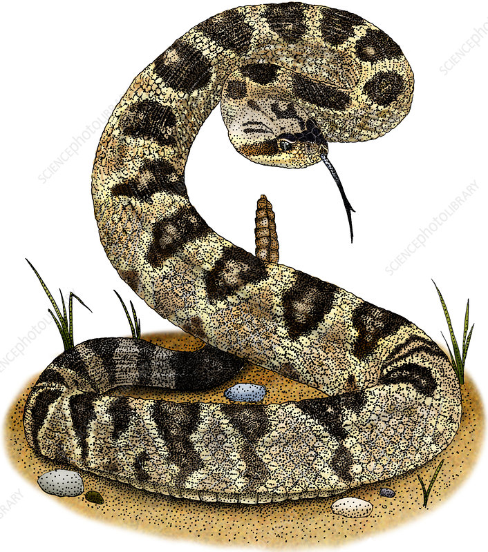 Black-Tailed Rattlesnake, Illustration