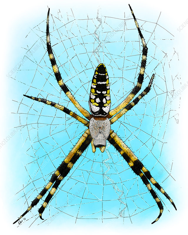 Garden Spider, Illustration