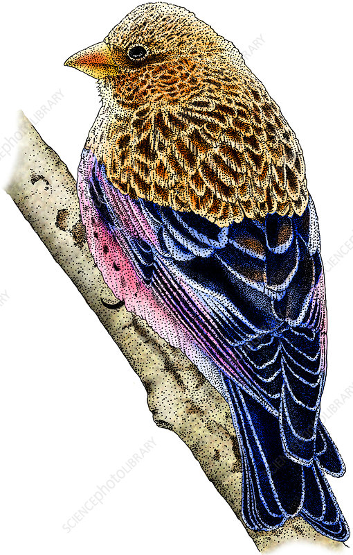 Brown-Capped Rosy Finch, Illustration