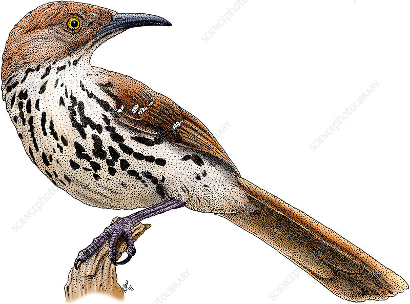 Brown Thrasher, Illustration