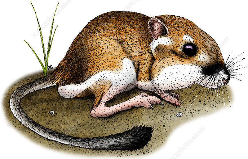 California Kangaroo Rat, Illustration