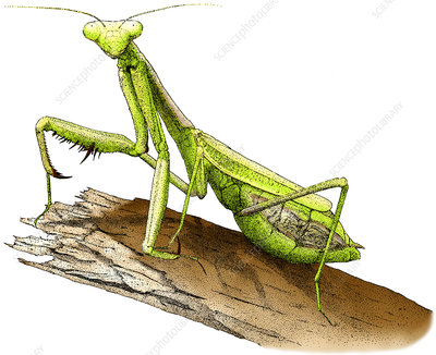 California Praying Mantis, Illustration