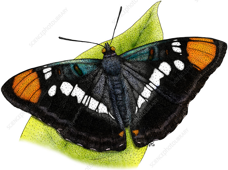 California Sister Butterfly, Illustration