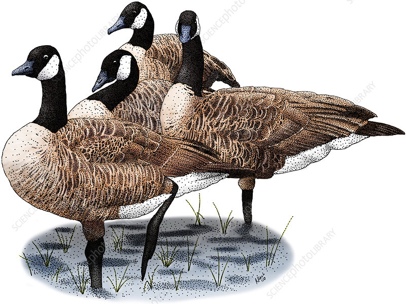 Canada Geese, Illustration