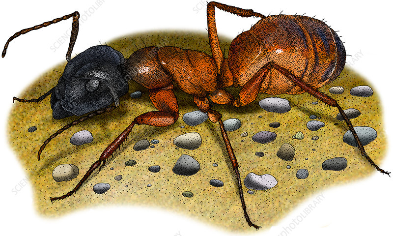 Carpenter Ant, Illustration