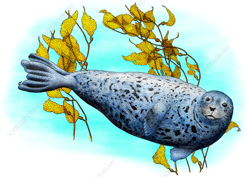 Common harbour Seal, Illustration