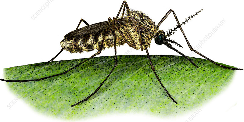 Common House Mosquito, Illustration