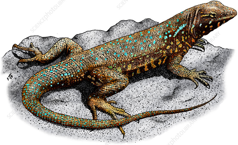 Common Side-Blotched Lizard, Illustration