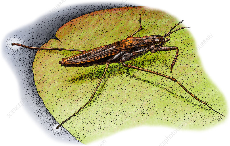 Common Water Strider, Illustration