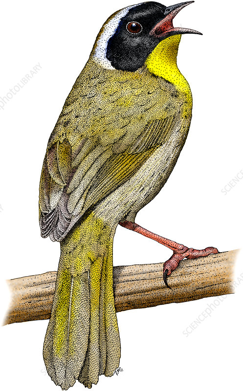 Common Yellowthroat, Illustration