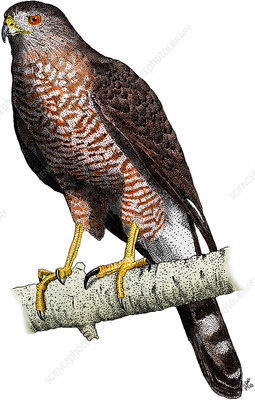 Cooper's Hawk, Illustration
