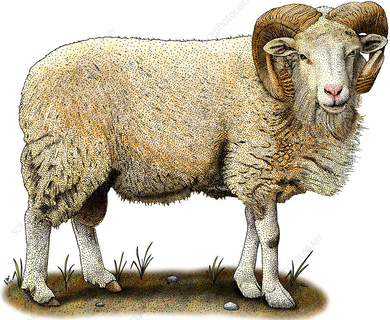 Cotswold Sheep, Illustration