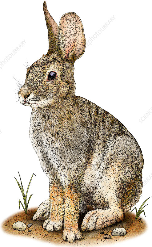 Desert Cottontail, Illustration