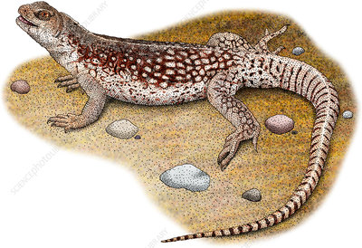 Desert Iguana, Illustration