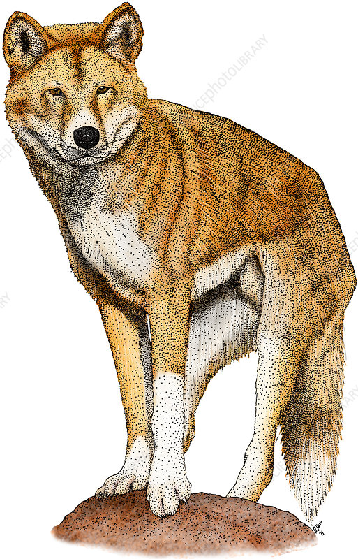 Dingo, Illustration