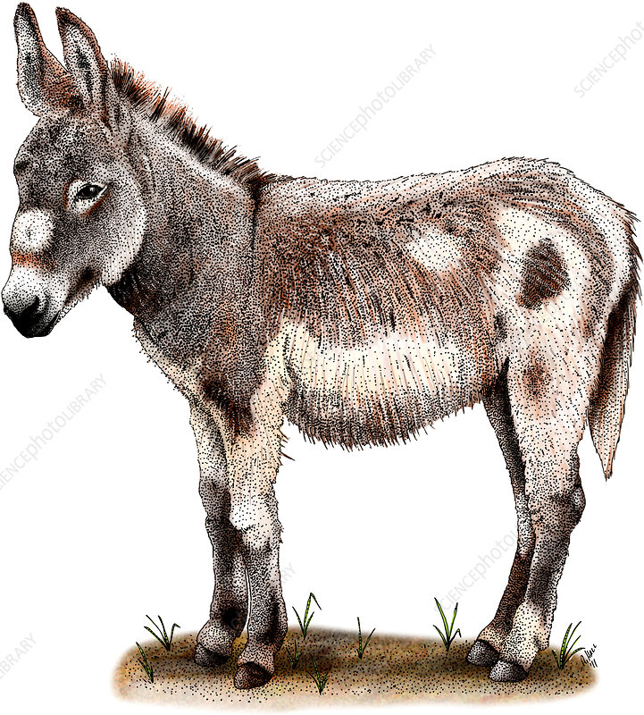 Domestic Donkey, Illustration