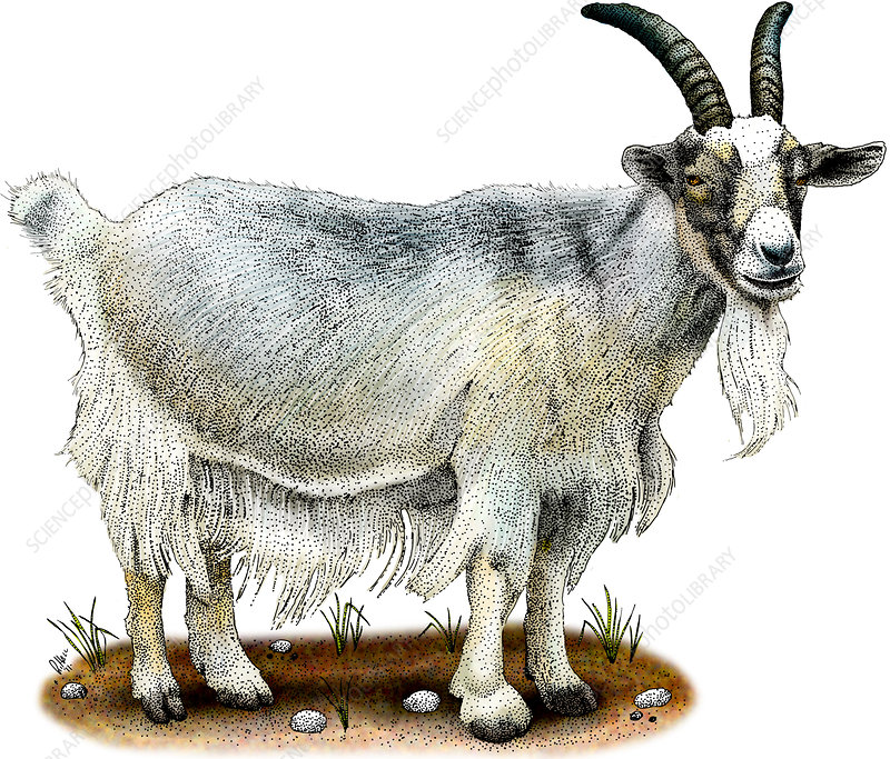 Domestic Goat, Illustration