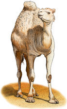 Dromedary, Illustration