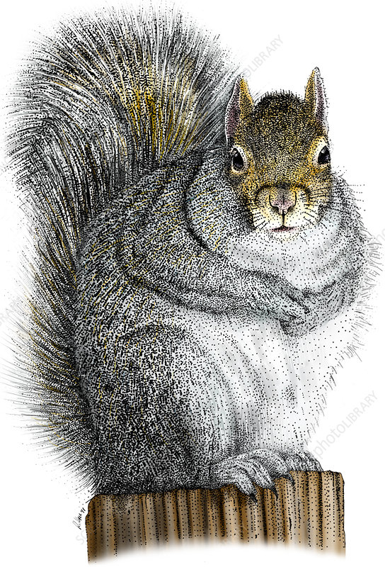 Eastern Gray Squirrel, Illustration