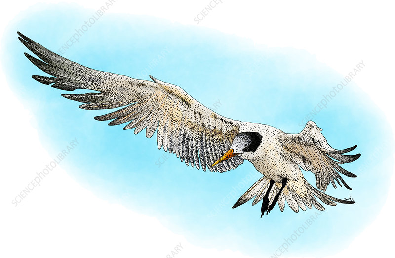 Elegant Tern, Illustration