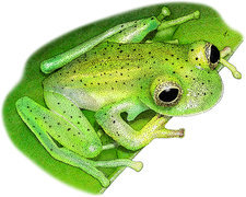Emerald Glass Frog, Illustration