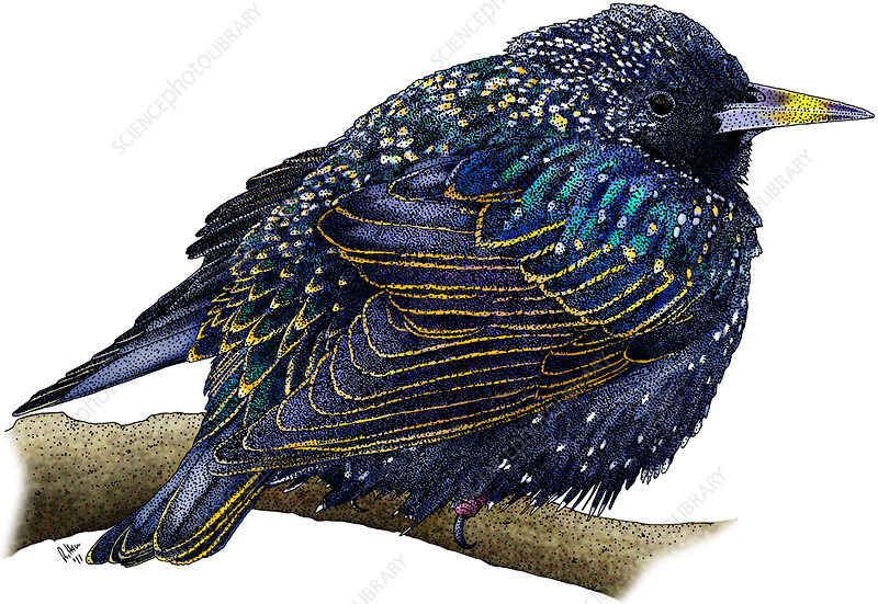 European Starling, Illustration