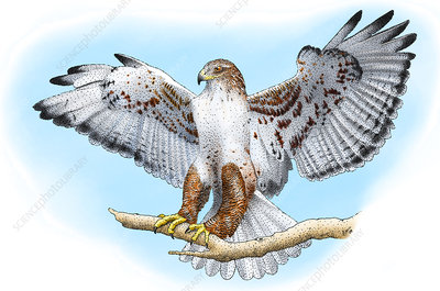 Ferruginous Hawk, Illustration