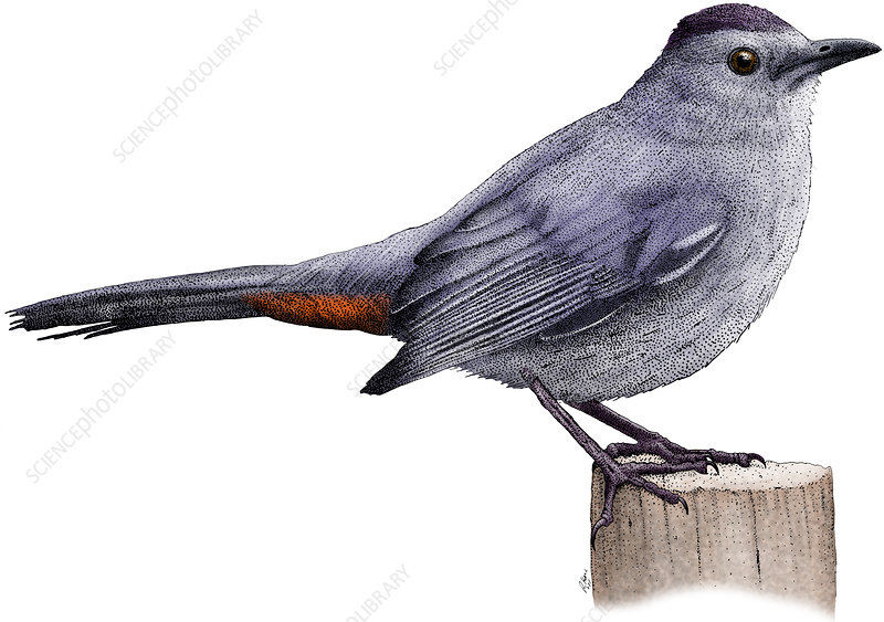 Gray Catbird, Illustration