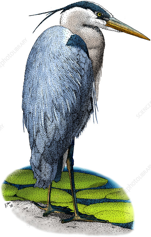 Great Blue Heron, Illustration