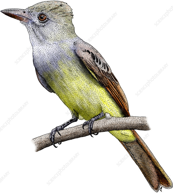 Great Crested Flycatcher, Illustration