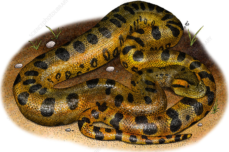 Green Anaconda, Illustration
