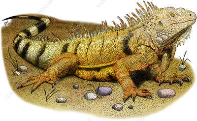 Green Iguana, Illustration