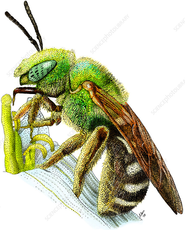 Green Metallic Bee, Illustration