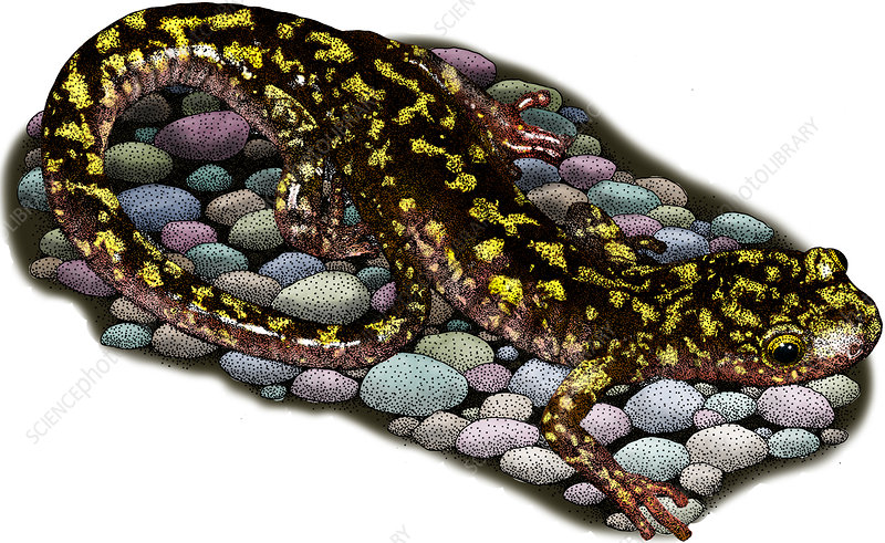Green Salamander, Illustration
